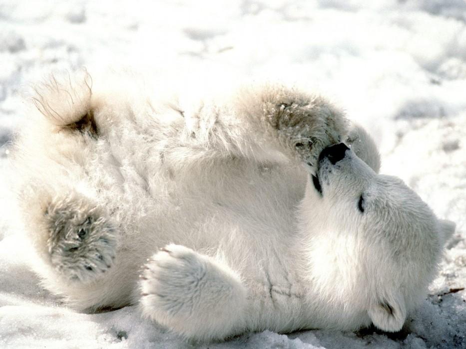 Playful-Baby-Polar-Bear-1