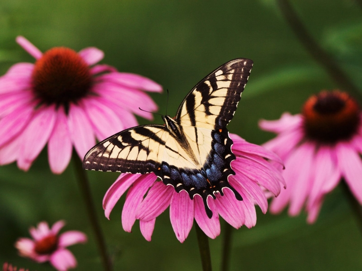 Tiger-Swallowtail-Butterfly-on-a-Purple-Coneflower_b