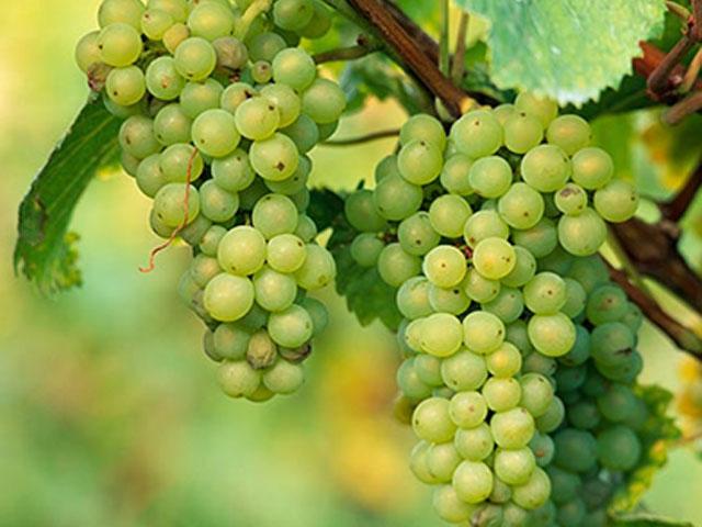 grapes-5432
