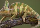 Reptiles_wallpapers_82