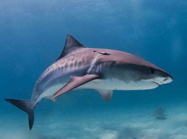 tiger-shark-in-the-bahamas