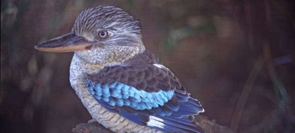 Australia+Animal+Kookaburra+bird+-+Blue-winged+Kookaburra+47770 (1)