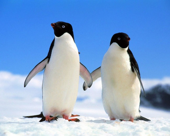 2-Penguins-penguins-4234010-1280-1024