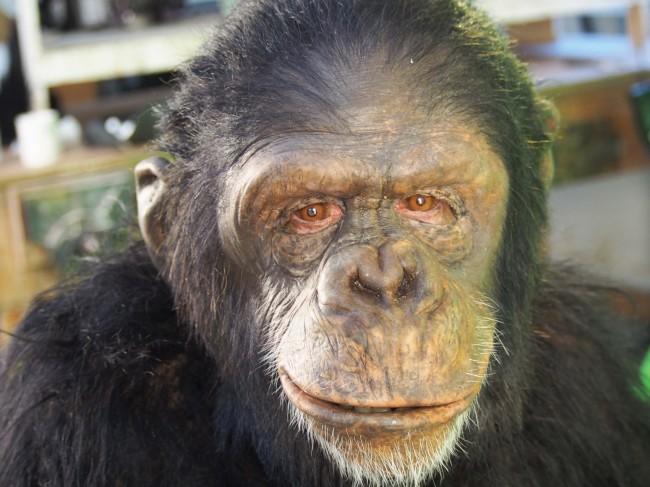 Πίθηκος-Ο πρόγονος του ανθρώπου