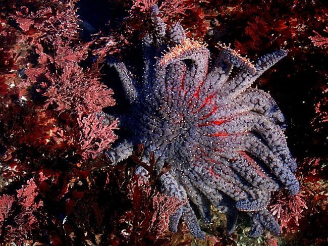 800px-Sun_flower_sea_star_in_tide_pools