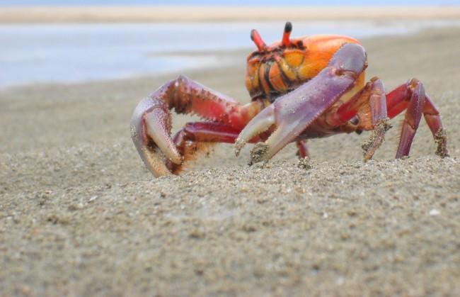 land-crab