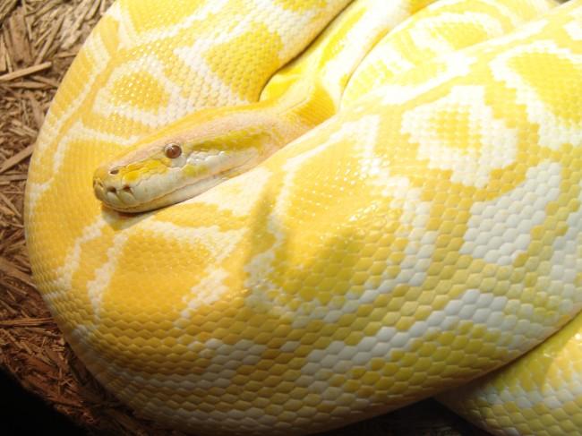 Burmese_Python_02