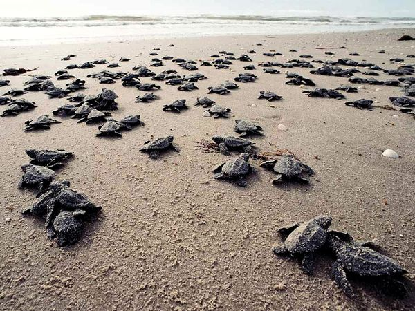 ridley-sea-turtle_687_600x450