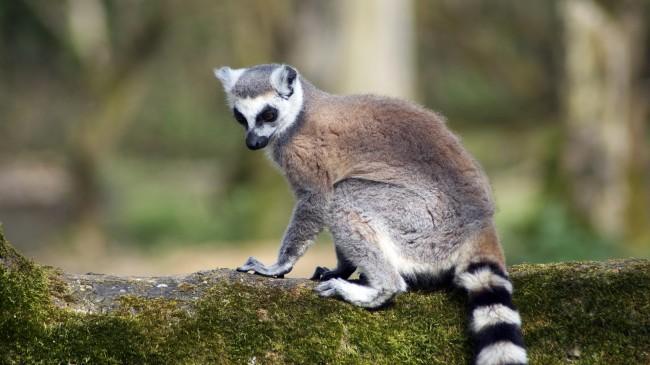 ring-tailed-lemur-animals-cute-lemur-outdoors-zoo