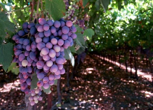 rt_grapes