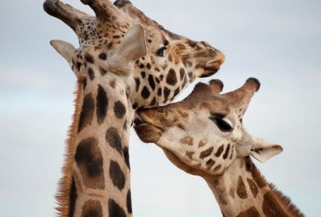 Giraffe camelopardalis (2)