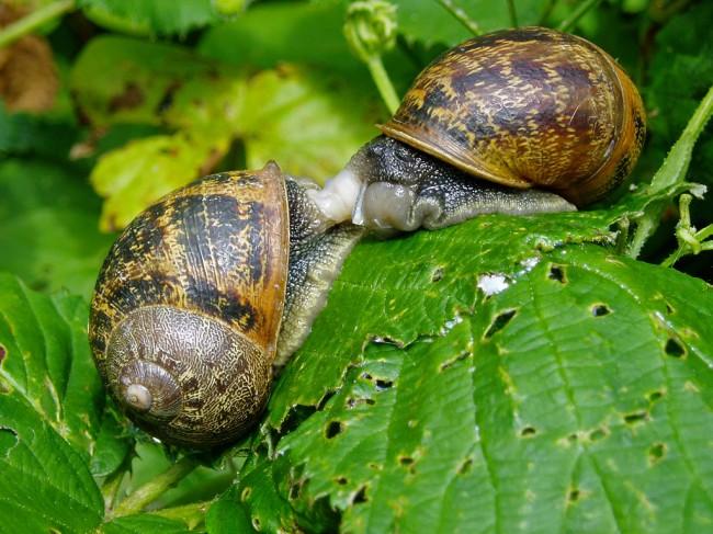 Mollusc_garden_snails_20070712_0113