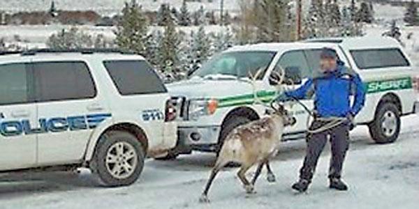 reindeer_600_