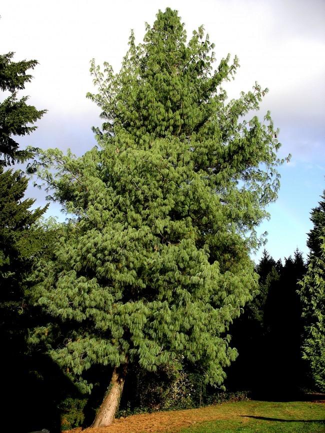 Bhutan_pine_tree