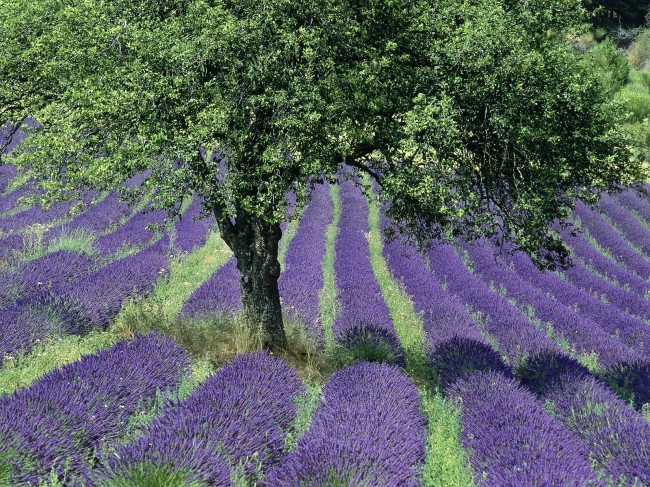 Lavender-Field-Provence-France