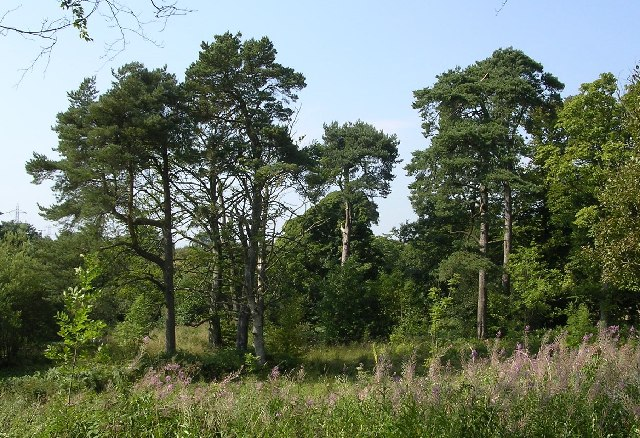Pine_Trees_at_Auchnacraig_-_geograph.org.uk_-_49155