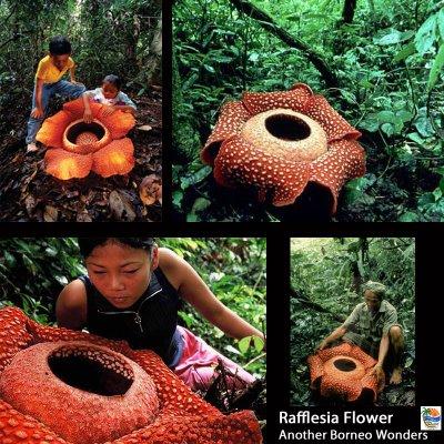 RafflesiaFlower1