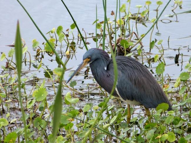 tricolored-heron-viera-wetlands-120913-119c