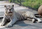 white-tiger-2