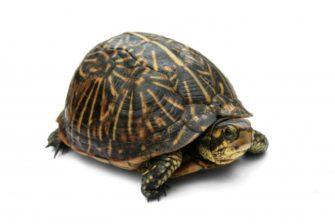 Florida_Box_Turtle_Digon3