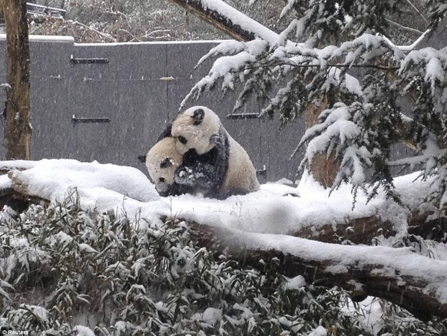24755BD800000578-2898463-Loving_this_Sixteen_month_old_Giant_panda_cub_Bao_Bao_plays_in_t-a-130_1420582053052