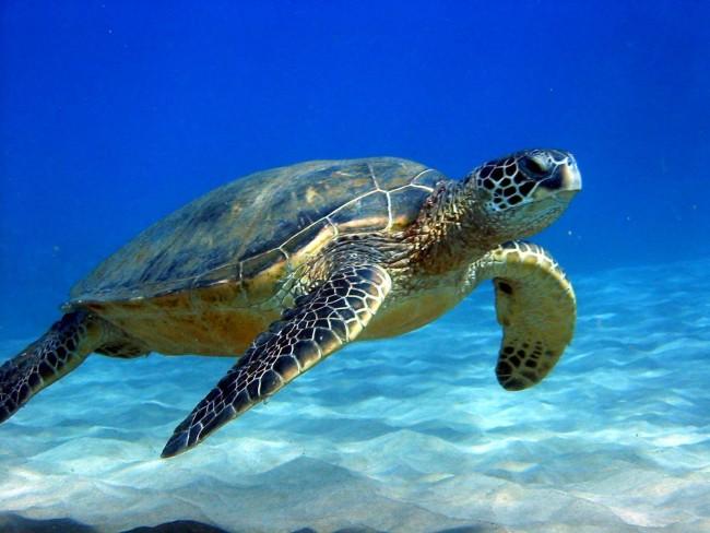 Sea_Turtle_506f386b36187 (1)