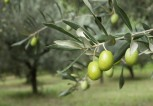 olive-branch-from-olive-tree