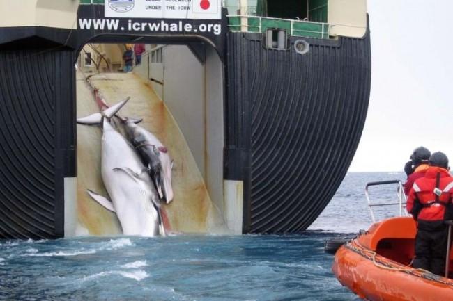 Αντιδράσεις για τον απόπλου ιαπωνικών φαλαινοθηρικών στην Ανταρκτική