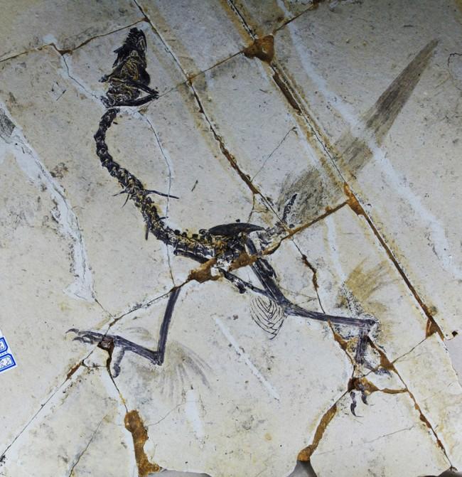 1.12613_sapeornis-photograph-low