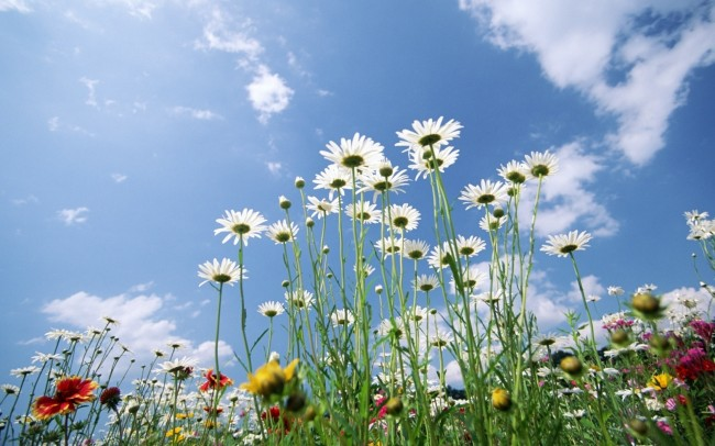 daisies_flowers_sky_clouds_lawn_green_31273_1680x1050
