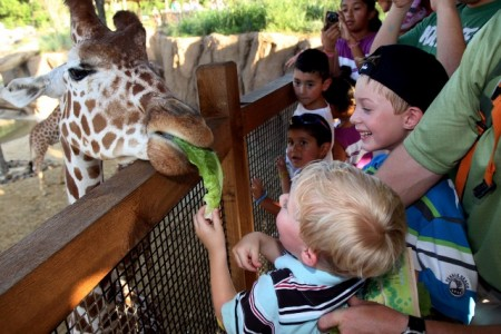 Feeding-the-giraffes-at-the-Dallas-Zoo-450x300