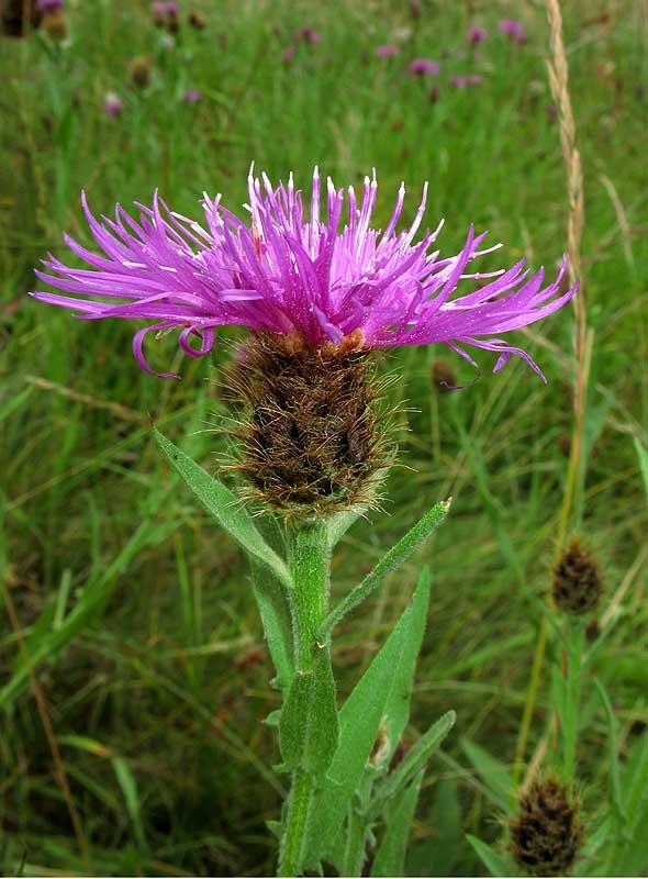 IMG_7421 Centaurea nervosa ssp promota
