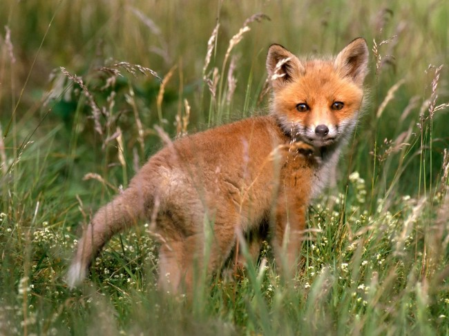 red-fox-kit-in-meadow-pictures