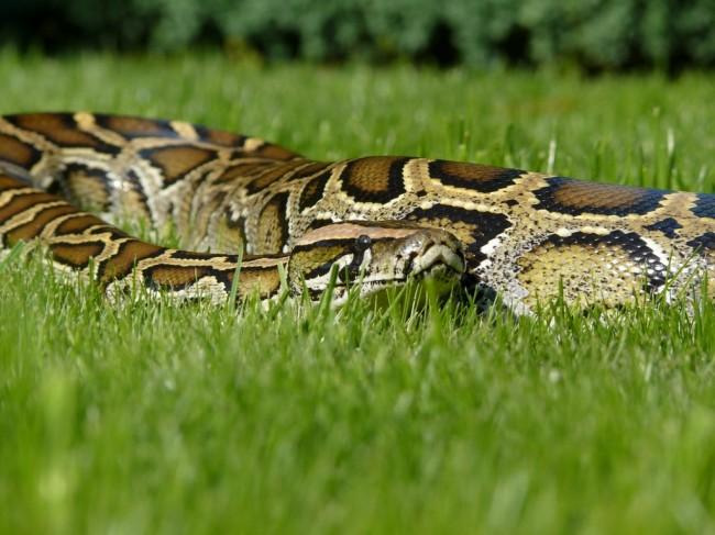 Python bivittatus Andre (6)