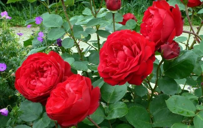 les-roses-de-saadi-63.1180012410