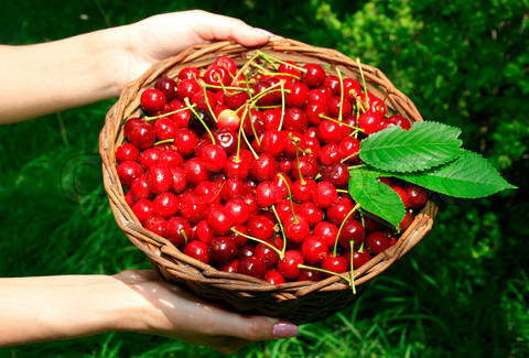 1752066-602532-woman-s-hands-holding-basket-of-ripe-red-cherries