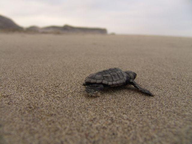 Ξεκίνησε η ωοτοκία θαλάσσιας χελώνας Caretta caretta στην Κρήτη