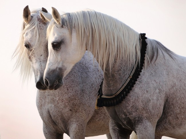 Τα άλογα δεν επικοινωνούν με το στόμα αλλά με τα αυτιά τους!