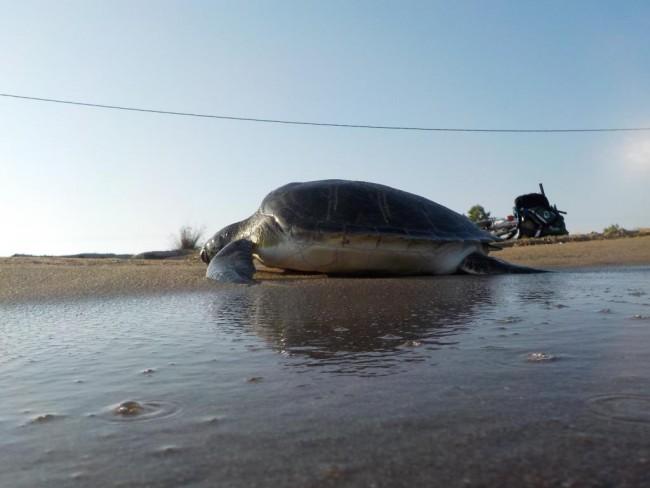 Αχαϊα: Γέφυρα σωτηρίας για την διάσωση και μεταφορά τραυματισμένης θαλάσσιας χελώνας στο Αρχέλων