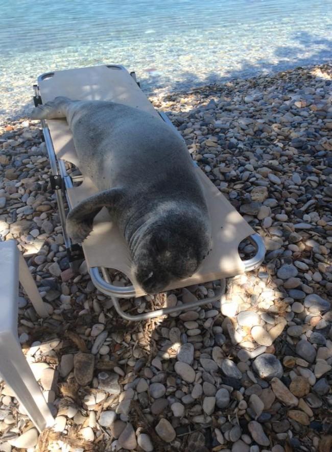 Σάμος: Τι γυρεύει η φώκια «Αργυρώ» στην ξαπλώστρα της παραλίας; Η φωτογραφία που κάνει το γύρο του διαδικτύου