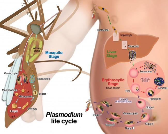 Falciparum-life-cycle-final
