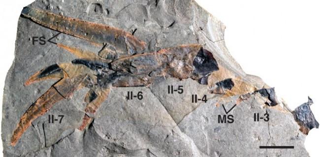 pentecopterus-appendange-fossil