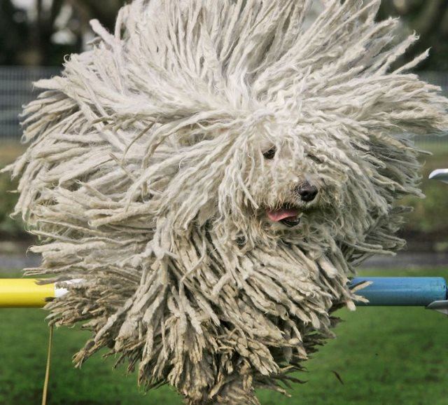 Hungarian Puli sheep dog, Fee, jumps over a hurdle during a preview for a pedigree dog show in Dortmund on Thursday April 24, 2008. (AP Photo/Frank Augstein)