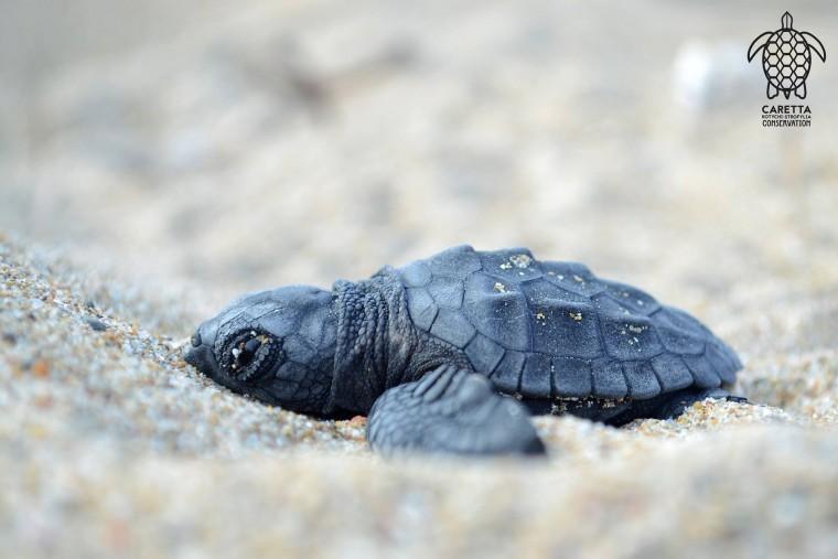 Τα πρώτα χελωνάκια εκκολάφτηκαν στο Κοτύχι!!! Το ταξίδι τους στον Κυλλήνιο κόλπο μόλις ξεκίνησε!