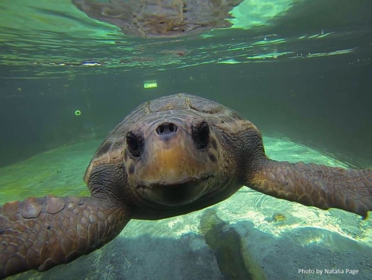 Πρόσκληση για την απελευθέρωση θαλάσσιας χελώνας Caretta caretta τη Δευτέρα 22/08