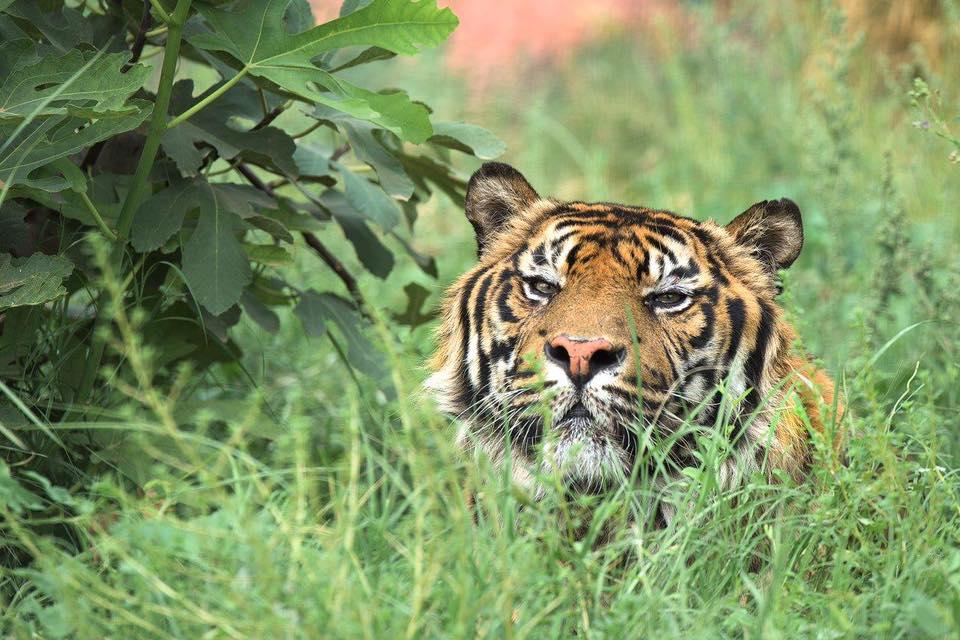 tiger-of-sumatra