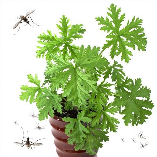 8 φυτά που διώχνουν μακριά κουνούπια και ενοχλητικά έντομα