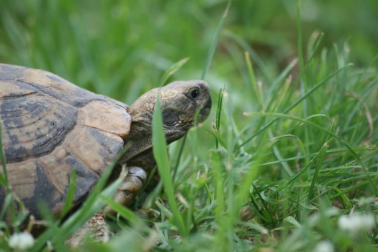 """""""Οι χερσαίες χελώνες ΔΕΝ είναι κατοικίδια"""", προειδοποιεί το ΚΕ.Π.Π.ΑΖ"""