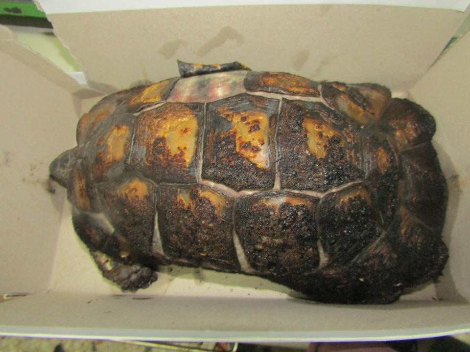 Φωτιά στον Υμηττό: Πολλές καμένες χελώνες – Τι πρέπει να κάνετε για να τις σώσετε