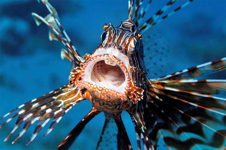 Αν δείτε αυτό το ψάρι δολοφόνο εκεί που κολυμπάτε, απομακρυνθείτε – Κινδυνεύετε από το τσίμπημά του